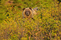 Grizzly Bear (Ursus arctos) looking for berries.  Fall, Glacier National Park.