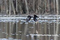 00807-03808 Bald Eagle (Haliaeetus lecocephalus) fishing Clinton Co. IL