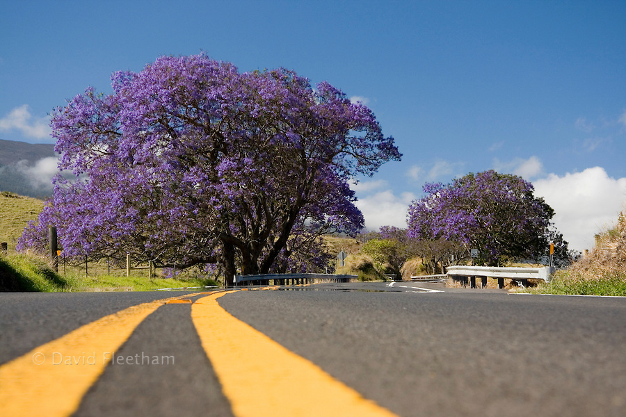 Lavender blossoms on a jacaranda tree, Jacaranda mimosifolia, beside the road to Haleakala Crater on the island of Maui, Hawaii.