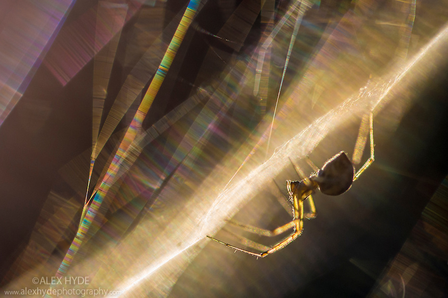 Sheetweb Weaving Spider {Linyphiidae} in web at sunset. The silk is refracting the light into a rainbow of coloured bands. Julian Alps, Slovenia, July.