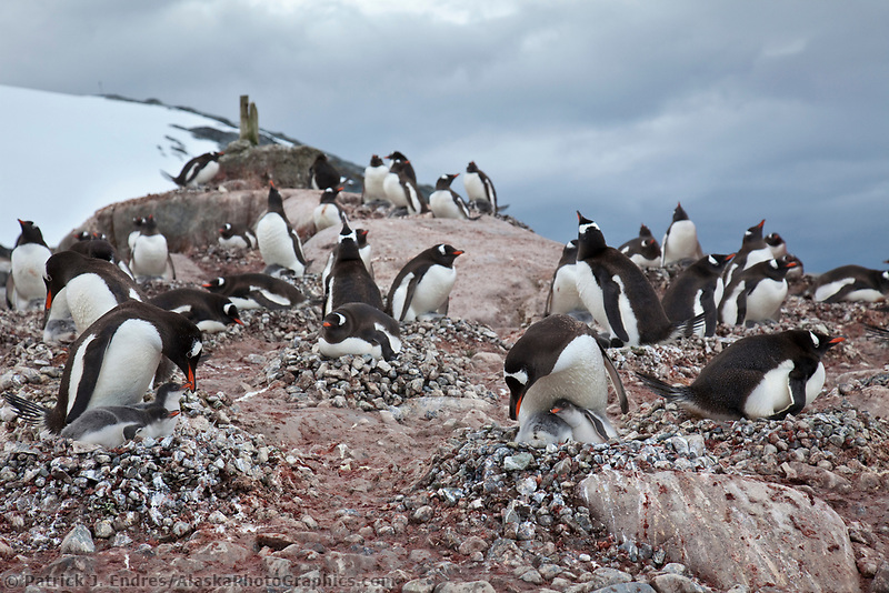 Gentoo penguin colony, Peterman Island, western Antarctic Peninsula.
