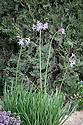 Tulbaghia simmerli (syn. Tulbaghia fragrans, Tulbaghia pulchella). Arthritis Research UK Garden, designed by Thomas Hoblyn, RHS Chelsea Flower Show 2012.