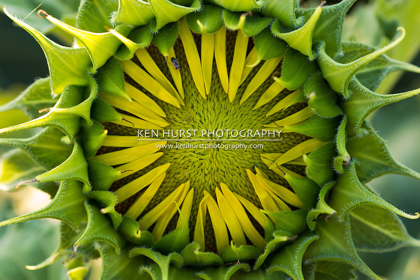 Macro photo of a young, developing sunflower in a field of sunflowers in rural Texas.