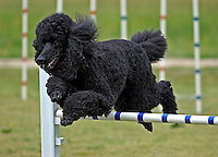 Standard Poodle jumping during an agility competition in Gloucester, VA