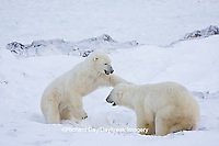 01874-11317 Polar Bears (Ursus maritimus) sparring, Churchill Wildlife Management Area MB