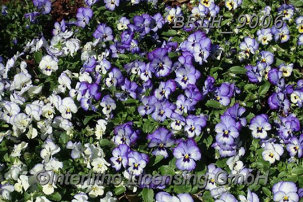 Luiz, FLOWERS, BLUMEN, FLORES, photos+++++,BRLH9006,#f#, EVERYDAY ,allover