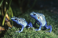 Blauer Baumsteiger, Azurblauer Baumsteiger Blauer Pfeilgiftfrosch, Dendrobates tinctorius, Dendrobates azureus, Baumsteigerfroch, Pfeilgiftfrosch, Farbfrosch, Baumsteigerfrösche, Pfeilgiftfrösche, Farbfrösche, Dendrobatidae, blue poison dart frog, blue poison arrow frog, Poison dart frogs, dart-poison frogs, poison frogs, poison arrow frogs