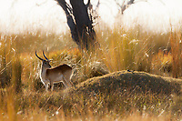 A red lechwe and a nesting blacksmith plover in their magical Okavango Delta habitat.