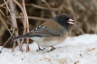 Dark-eyed Junco walking along the snow