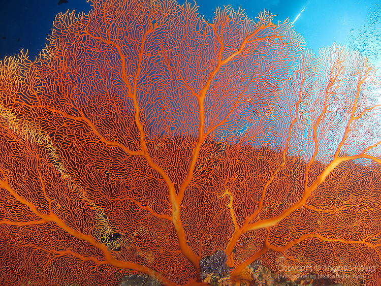 Blue Corner, Palau -- Gorgonian sea fan.