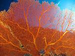 Blue Corner, Palau -- Gorgonian sea fan.