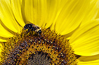 Bee and sunflower.