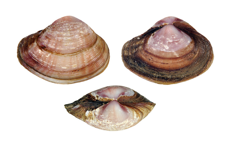 Basket Shell - Corbula gibba