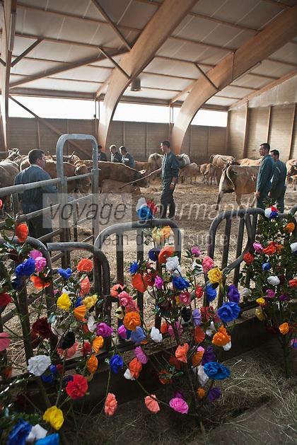 Europe/France/Midi-Pyrénées/12/Aveyron/Aubrac/Saint-Chély-d'Aubrac: Lors de la Fête de la transhumance en Aubrac chez Mr Niel éleveur à Aulos - Les éleveurs décorent les bêtes de : fleurs, drapeaux, clarines