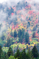 Mixed varieties of maple trees in fall color. Targhee National Forest, Idaho