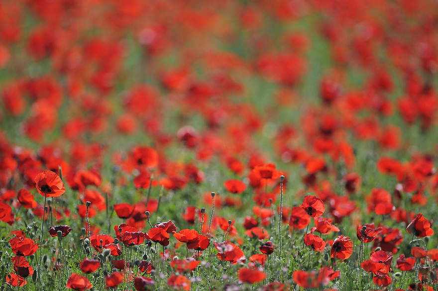A field of poppy (Papaver rhoeas). Lesser Lake Prespa, Lake Prespa National Park, Albania June 2009