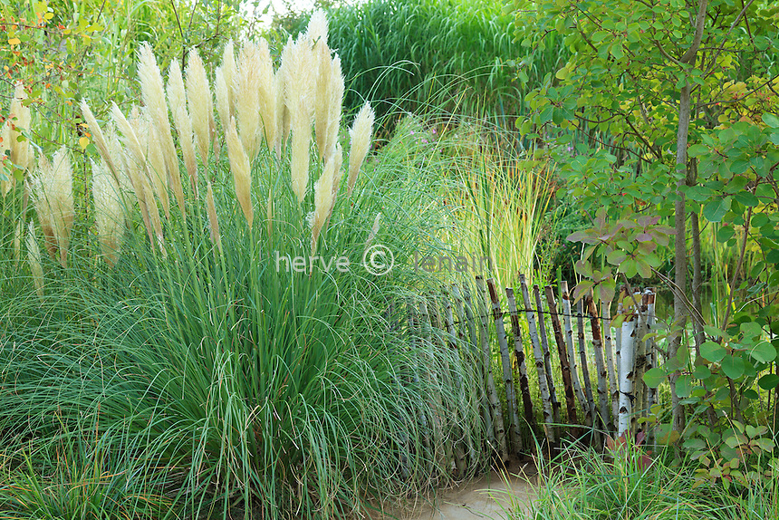 Cortaderia selloana, herbe de la Pampa en automne (France, Chaumont-sur-Loire, Festival International des Jardins) // Cortaderia selloana, pampas grass in fall (France, Chaumont-sur-Loire, Festival International des Jardins)