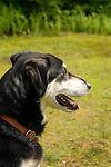 Mixed breed- labrador, collie.