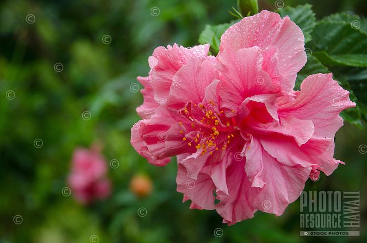 Pink double hibiscus, Big Island