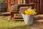 Watering can with a bouquet of daffodil flowers and rusting stove, Daffodil flowers, McLaughlin's Daffodil Hill in bloom, Volcano, Calif.