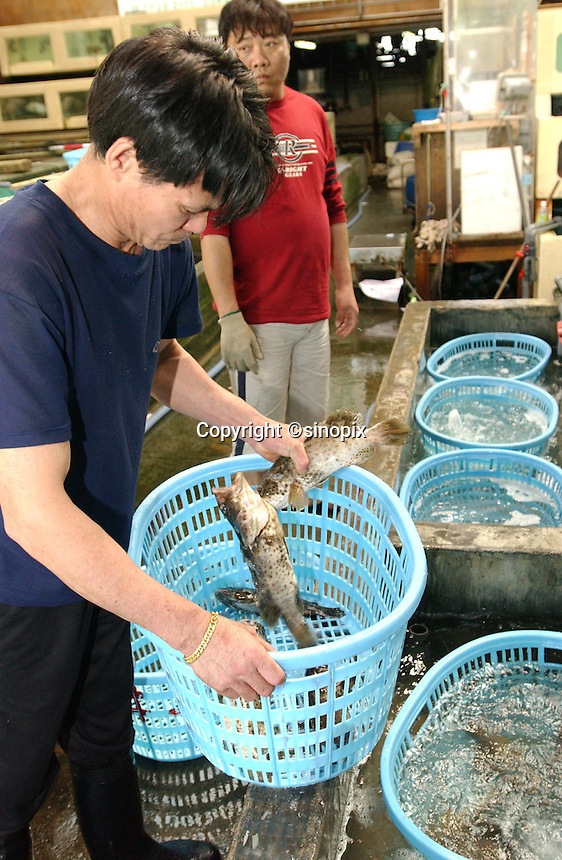 FOOD: REEF FISH: HONG KONG<br /> Reef fishes flown in by plane are unpacked in a storage depot at Lei Yue Mun, Hong Kong.<br /> Photo by Richard Jones/sinopix<br /> &copy;sinopix