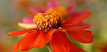 ZINNIA.ZINNIA ELEGANS.PROUFUSION CHERRY.FLOWERS TAKEN IN MY BACKYARD.10/9/2005.PHOTO BY © FITZROY BARRETT 2005.