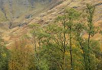 Trees, Glen Coe Scotland