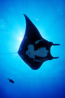 Manta Ray (Manta birostris) accompanied by a Big Eye Jack and hithhiking remoras, uderwater at San Benidicto Island, in the Revillagigedos Islands, off Baja, Mexico.