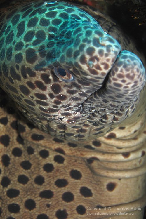 Qixingyan ('Seven Star Rock'), Taiwan -- A huge blackspotted moray, peeking out of its hiding hole on a sea mount.<br /> <br /> The photo only hints at the sheer size of this moray. In spite of its size, it retreated further into its hole when our group of divers approached.