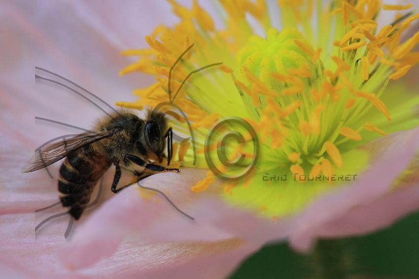 A bee on a poppy flower.