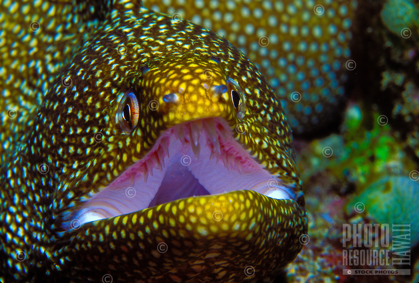White mouth moray eel with mouth open and sharp teeth