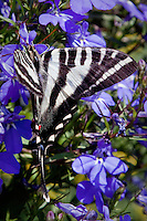 Zebra Swallowtail Butterfly is a swallowtail butterfly found in the eastern United States, north-east Mexico and south-east Canada. Its distinctive black and white-striped pattern is reminiscent of a zebra.<br /> <br /> The Zebra Swallowtail Butterfly is also the official state butterfly of Tennessee.<br /> The Zebra Swallowtail has triangular wings with long tails. It has some distinctive black and white markings on its wings and some small red and blue markings on both bottom corners of the wings. There are two seasonal forms. Spring forms are more white and have small black tails with white tips. Summer forms are more black and have longer tails with more white in them. The wingspan measures 2 2/5 to 3 1/2 inches.