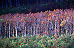 A stand of White Birch trees near Lake Towada in Aomori Prefecture's Hachimanti National Forest in North Honshu, Japan. Jim Bryant Photo. 2012. All Rights Reserved.