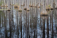 Cypress trees reflecting on pond, Cypress Gardens, Charleston, South Carolina