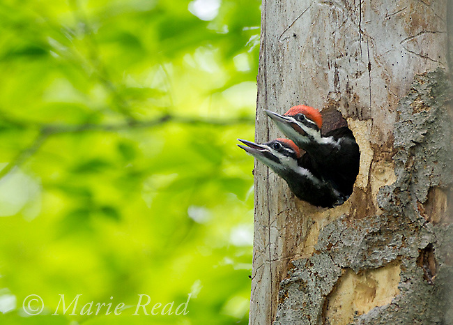 Pileated Woodpecker (Dryocopus pileatus), two large nestlings, near fledging age, look out of nest hole, one calling, watching for parent to arrive to feed, New York, USA<br />  (Topaz DeNoise applied)
