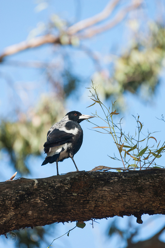 An Australian magpie watches from a perch on a gum branch near Adelaide, South Australia.
