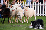 A herd of sheep stick together during a herding demostration at the annual Scotsfest held at the Queen Mary in Long Beach, Calif., on Saturday February 16, 2013.