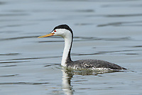 A Clark's grebe displays its bright yellow beak and white plumage extending aobove its eyes, features that distinguish it from the western grebe.<br />