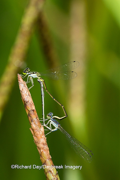 06329-00205 Eastern Forktail Damselfly (Ischnura verticalis) male and female mating in wetland, Marion Co., IL