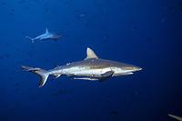 grey reef shark female, Carcharhinus amblyrhynchos, with visible mating bites marks, Palau (Belau), Micronesia, Pacific Ocean