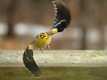 American Goldfinch in flying.