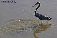 0127-08vv  Tricolored Heron Hunting for Prey After Striking Water, Louisiana heron, Egretta tricolor  © David Kuhn/Dwight Kuhn Photography