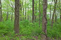 Poison Ivy; Toxicodendron radicans; spring; PA, Philadelphia, Schuylkill Center