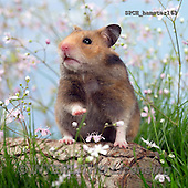 Xavier, ANIMALS, REALISTISCHE TIERE, ANIMALES REALISTICOS, photos+++++,SPCHHAMSTER163,#A# ,funny