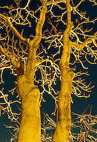 AVAILABLE FROM JEFF AS A FINE ART PRINT.<br /> <br /> AVAILABLE FROM JEFF FOR COMMERCIAL AND EDITORIAL LICENSING.<br /> <br /> Upward View of Bare Trees Illuminated by Street Lights on a Winter Night, Stuyvesant Town, Manhattan, New York City, New York State, USA<br /> <br /> Original image photographed on 35mm transparency film.