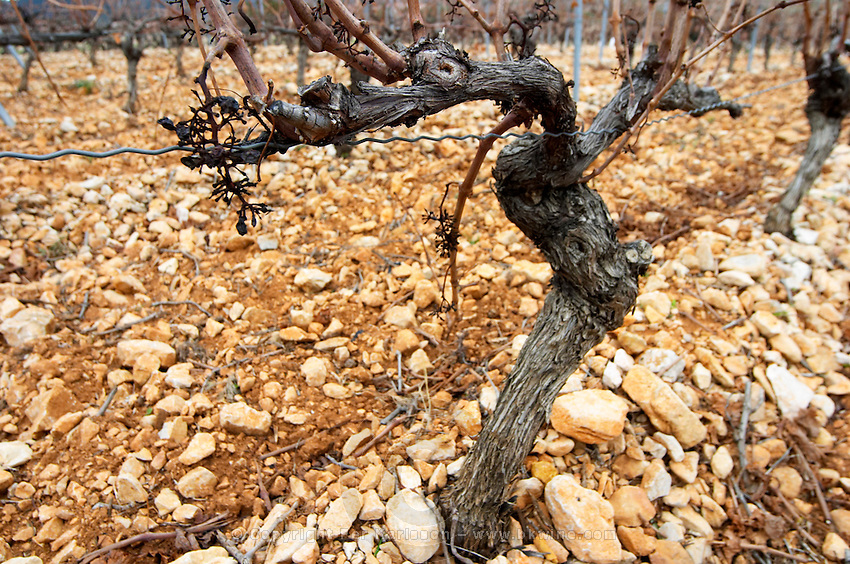 Mont Tauch Cave Cooperative co-operative In Tuchan. Fitou. Languedoc. Vines trained in Cordon royat pruning. Old, gnarled and twisting vine. Terroir soil. France. Europe. Vineyard. Soil with stones rocks.