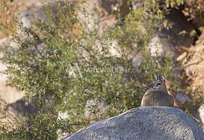The klipspringer is a small antelope that happens to be an adept rock climber.