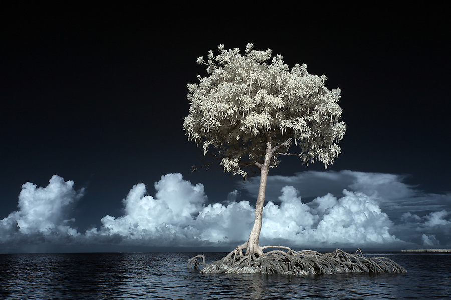 Mangrove tree photographed using infrared Canon 5D Mark II camera in Florida's Everglades National Park out of Chokoloskee Island and the 10,000 Islands National Wildlife Refuge. Photo/Andrew Shurtleff