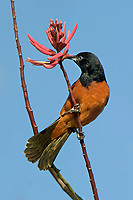 561950049 a wild spring migrant male orchard oriole icterus spurius perches on a blooming wildflower on south padre island on the texas gulf coast