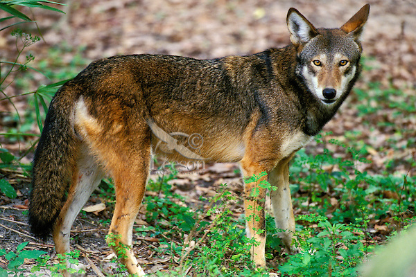 Red wolf (Canis rufus), Endangered Species